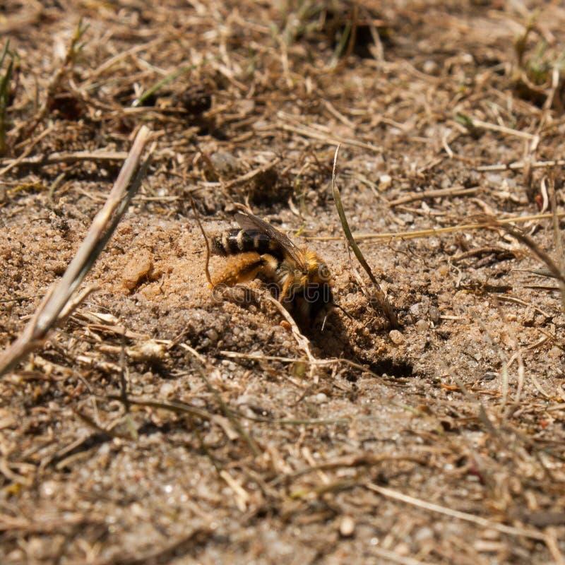 Andrena孕妇,当开掘时 免版税库存图片