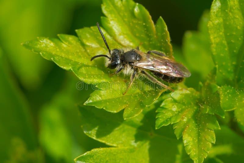 Andrena Mining Bee - especie desconocida fotos de archivo libres de regalías