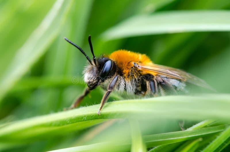 Andrena nitida,母开采的蜂 库存图片