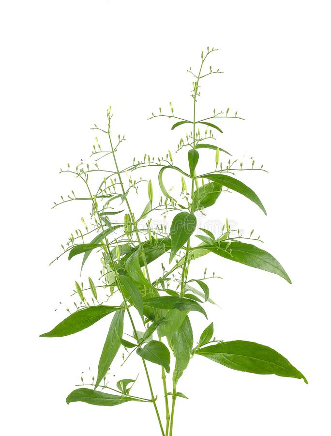 Andrographis paniculata plant on white background. Andrographis paniculata plant on white background royalty free stock images
