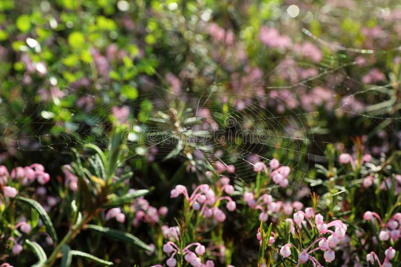 Andromeda polifolia Blühen des Sumpfrosmarins im Norden von West-Sibirien lizenzfreies stockfoto