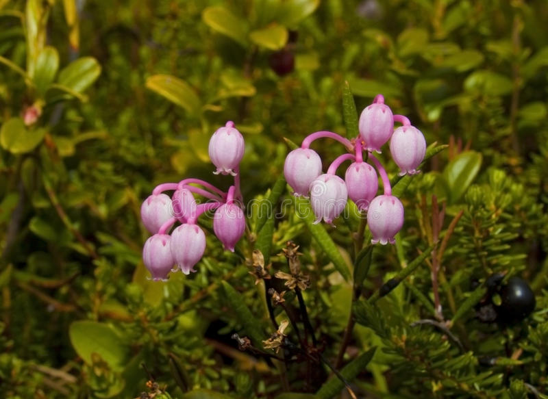 Download Andromeda polifolia L stock image. Image of northern - 14713367