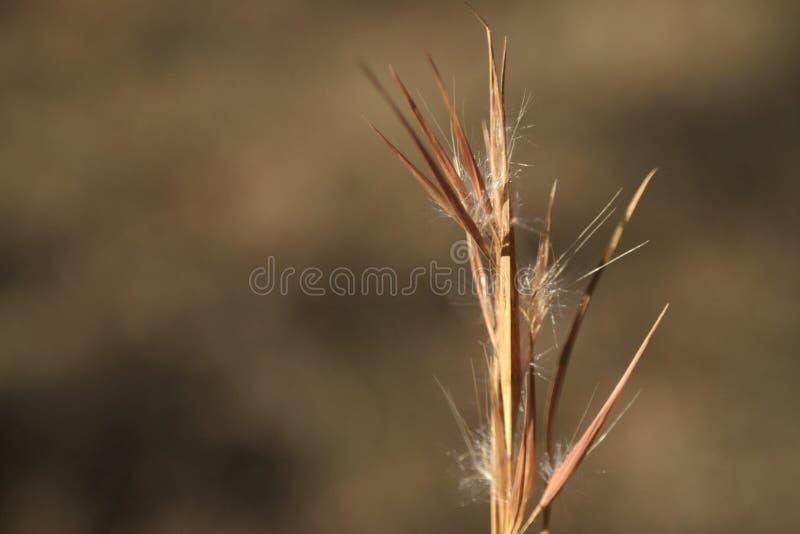 Andropogon virginicus, broomsedge bluestem grass. Golden native grass in Oklahoma, copy space, background blur, golden autumn ripe tones and colors stock photos
