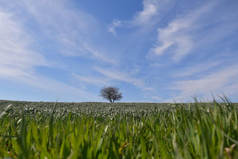 Landscape of a still green wheat field with a tree and blue sky with clouds. That begin to cover the whole sky royalty free stock image