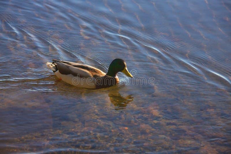 Andsimning i sjön royaltyfria foton