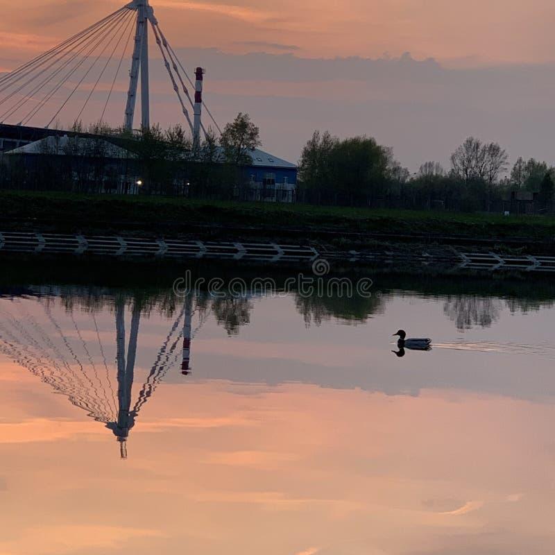 Andsimning på floden på solnedgången royaltyfri bild