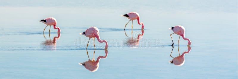 Andyjscy flamingi w Laguna Chaxa, Atacama Salar, ChileAndean flamingi w Laguna Chaxa, Atacama Salar Chile zdjęcia stock