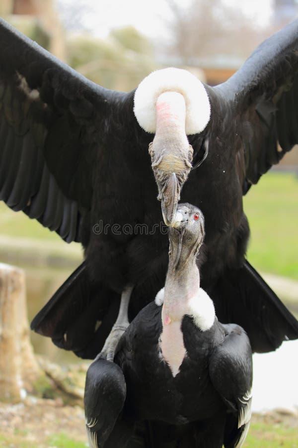 Andyjscy kondory zdjęcia royalty free