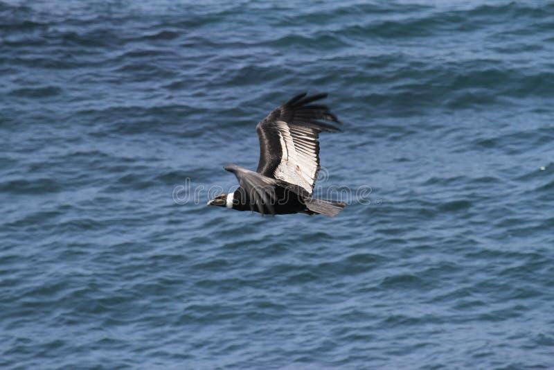 Andyjski kondor lata nad Pacyficznym oceanem zdjęcie royalty free