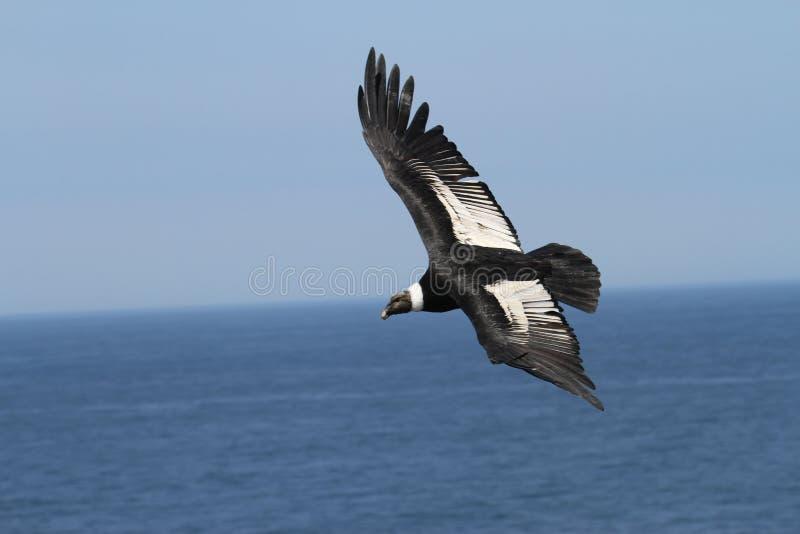 Andyjski kondor lata nad Pacyficznym oceanem zdjęcia stock