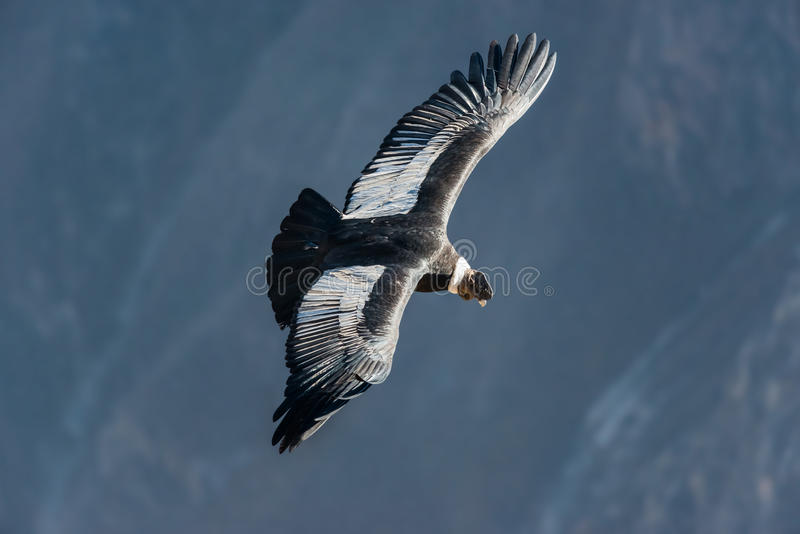 Andyjskiego kondora latanie w Colca jarze Arequipa Peru obrazy royalty free