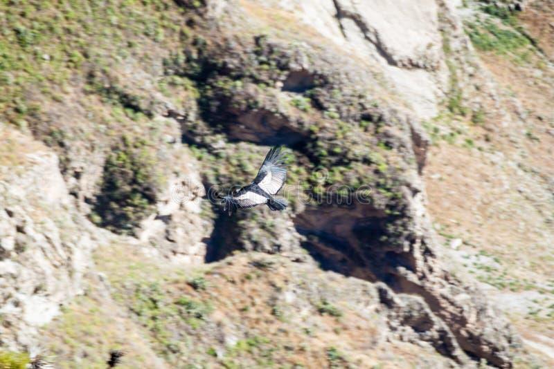 Andyjskiego kondora Vultur gryphus w Colca jarze fotografia stock
