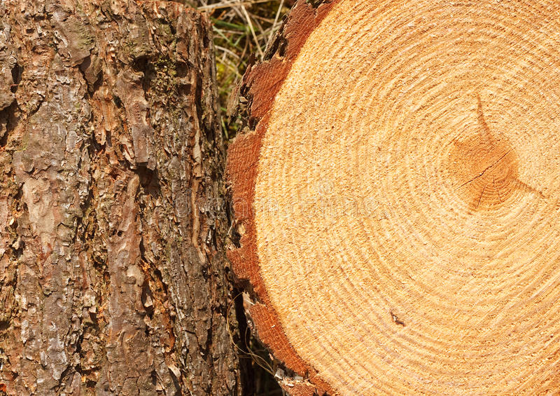 Anelli e tronco di pino immagine stock