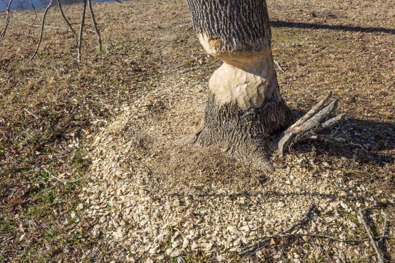 Anello dei trucioli intorno ad un albero con gravi danni dai castori immagini stock libere da diritti
