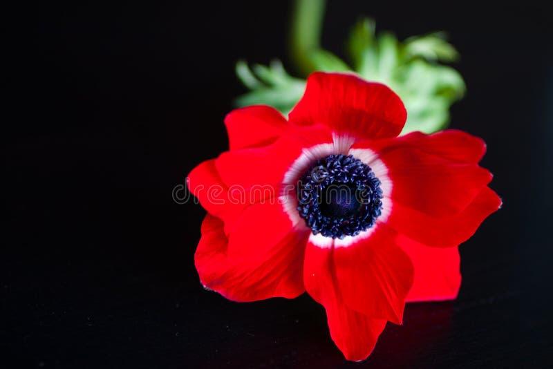 Download Anemon zdjęcie stock. Obraz złożonej z objurgate, kwiat - 28968752