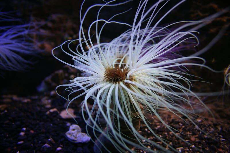 anemon arkivbild