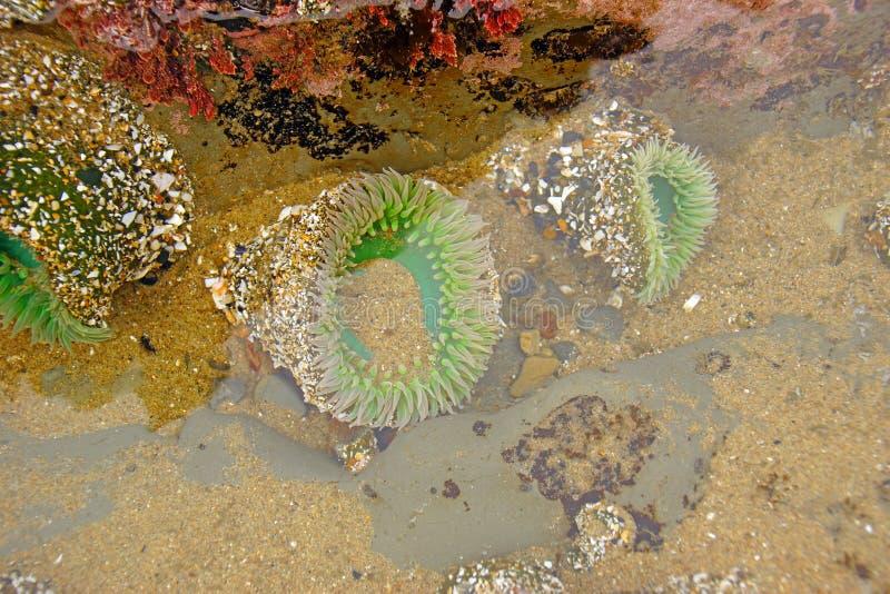 Anemon för grönt hav under tyst vatten fotografering för bildbyråer