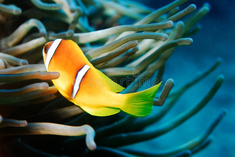 Anemon Fish Red Sea stock photo