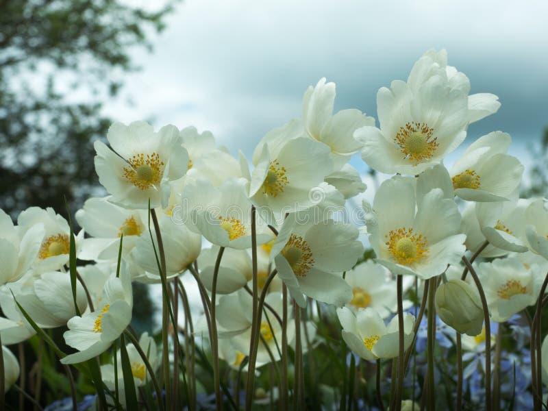 Anemon jest genus odwiecznie zielne rośliny fotografia royalty free