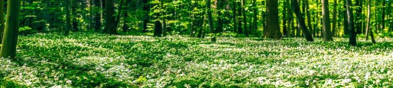 Anemon kwitnie na lasowej podłoga zdjęcie royalty free