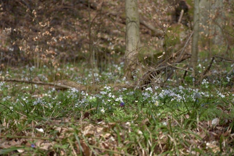 Anemon kwitnie w wiośnie, spadać buków liście zdjęcie royalty free
