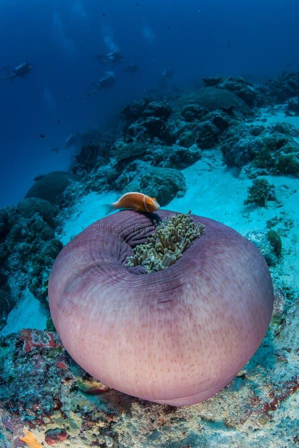 Anemon och rosa färger Anemonefish royaltyfri fotografi