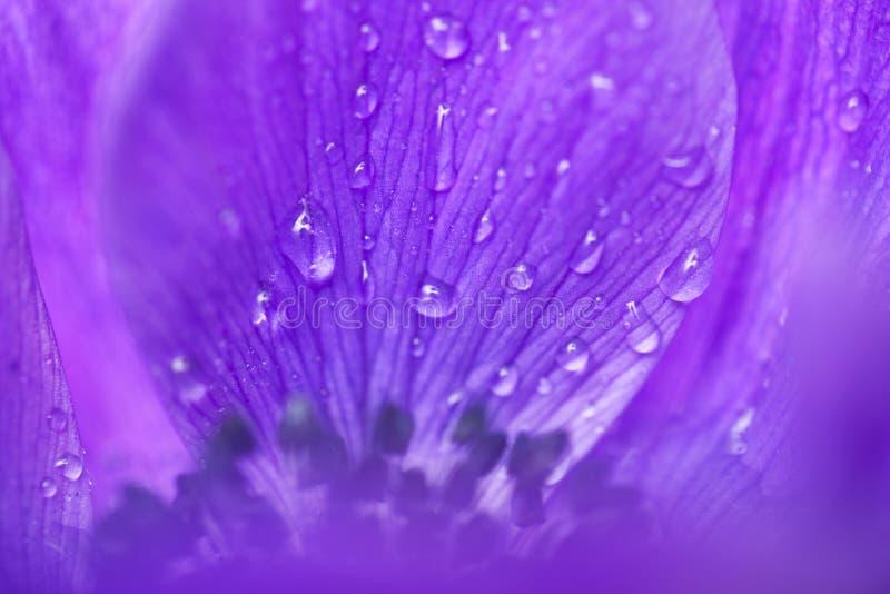 anemonblommapurple royaltyfri foto
