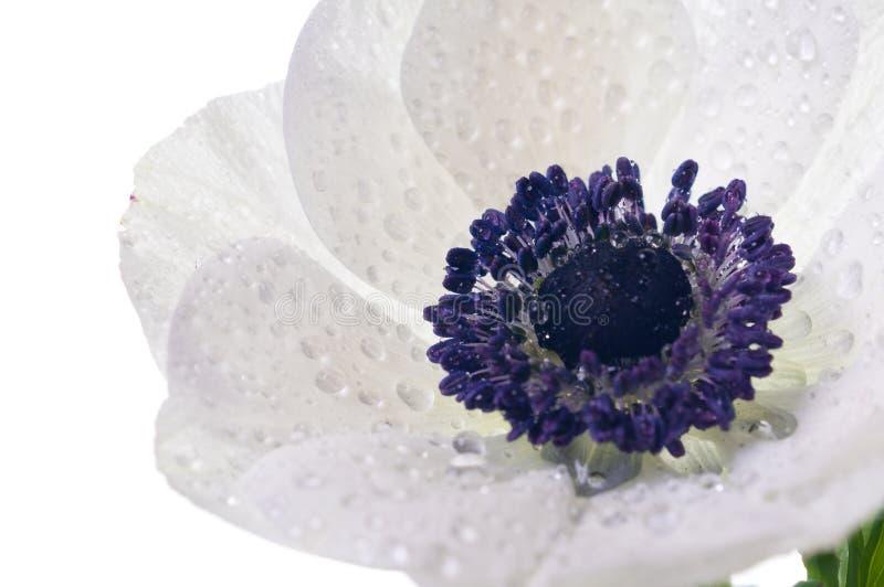 anemonblommawhite arkivbilder