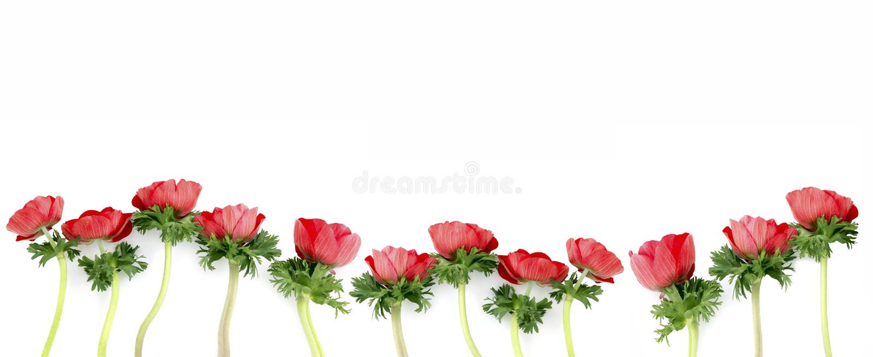 anemonblommor arkivfoto