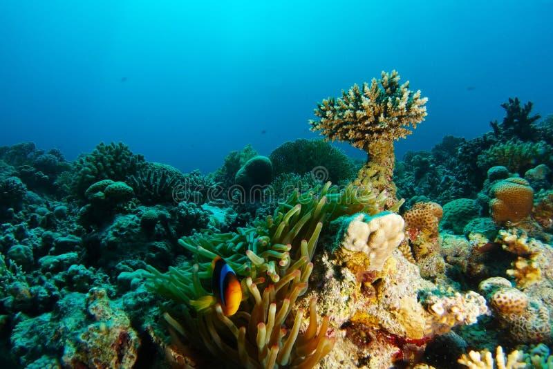 Anemonclownfisk inom korallträdgården royaltyfri foto