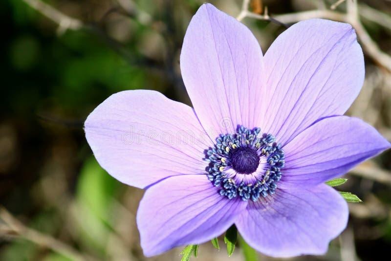 anemondetaljer blommar purple arkivbilder