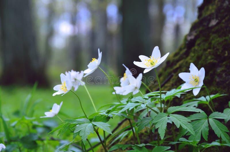 Anemone στα παλαιά ξύλα άνοιξη στοκ φωτογραφίες με δικαίωμα ελεύθερης χρήσης