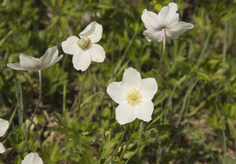 Anemone, ένα γένος των αιώνιων ποωδών ανθίζοντας φυτών της οικογένειας Ranunculaceae στοκ φωτογραφία