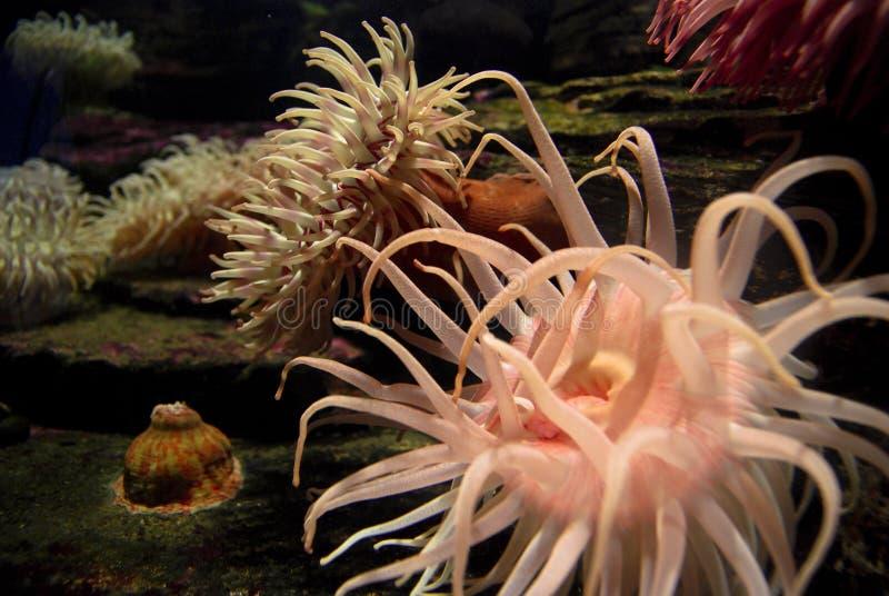 Anemone θάλασσας στοκ φωτογραφίες με δικαίωμα ελεύθερης χρήσης