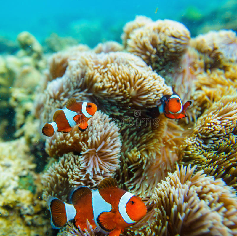 Anemone θάλασσας και ψάρια κλόουν στοκ φωτογραφίες με δικαίωμα ελεύθερης χρήσης