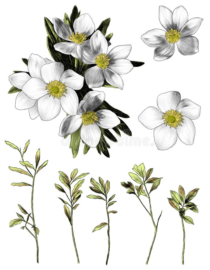 Anemone λουλουδιών με το σύνολο κλάδων ανθοδεσμών φύλλων πολλαπλάσιων στοιχείων ελεύθερη απεικόνιση δικαιώματος