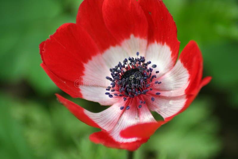 anemone stockfoto