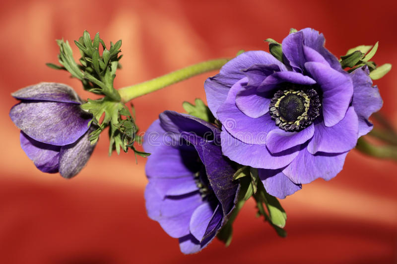 Anemone. Blue anemone flowers with a red context stock images