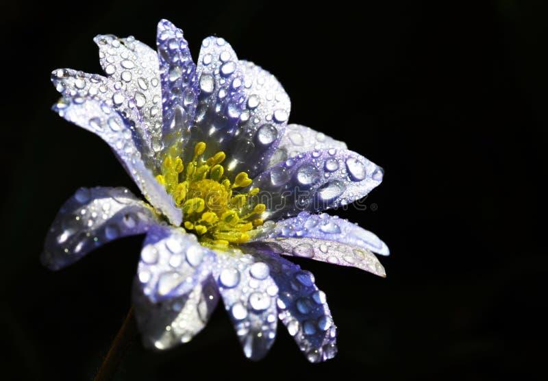 Anemone stockfotografie