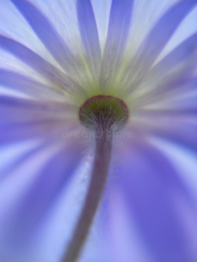 Download Anemone stock image. Image of botanical, pastels, outdoor - 171053