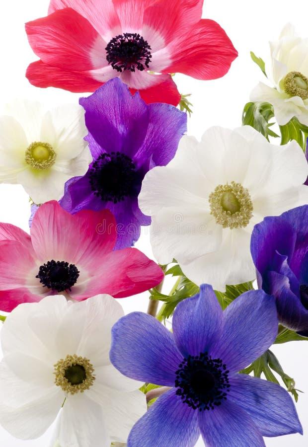 Anemone foto de stock royalty free
