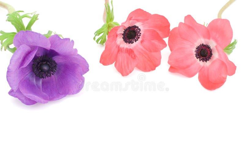 Anemone stockbilder