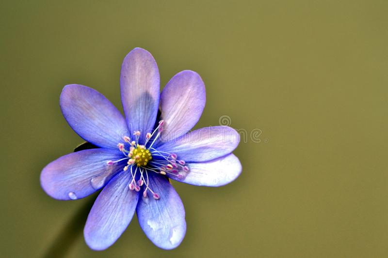 Download Anemone stock photo. Image of plant, background, detail - 25123454