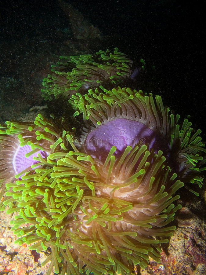Anemone. In the night, Indian ocean stock images