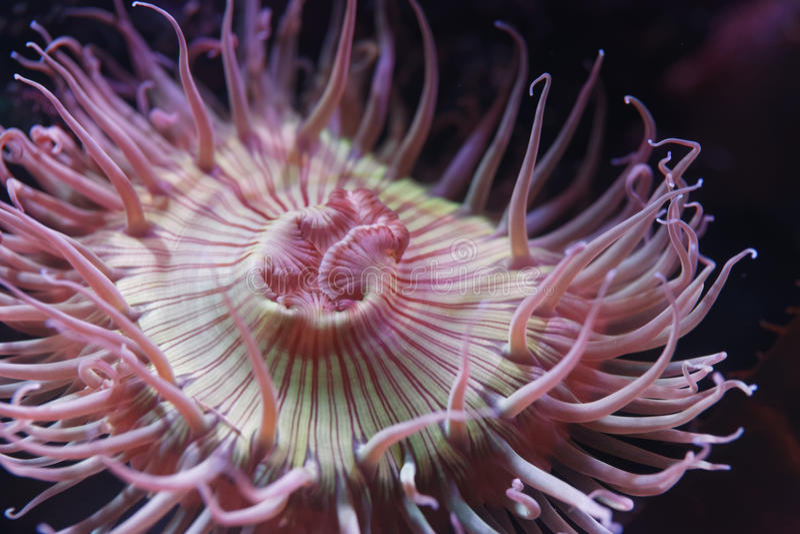 anemone fotos de stock royalty free