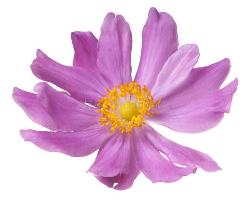 anemone imagem de stock