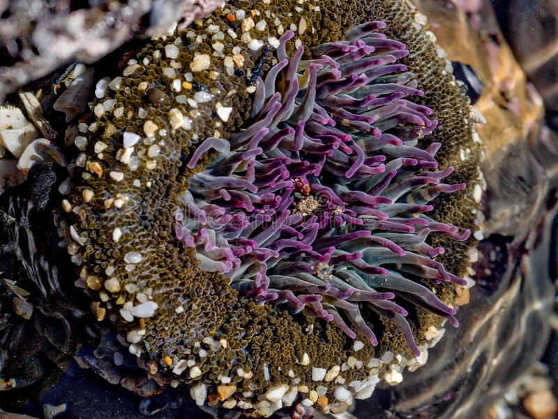 Anemone, actinia. Flower of the sea. Low tide stock photos