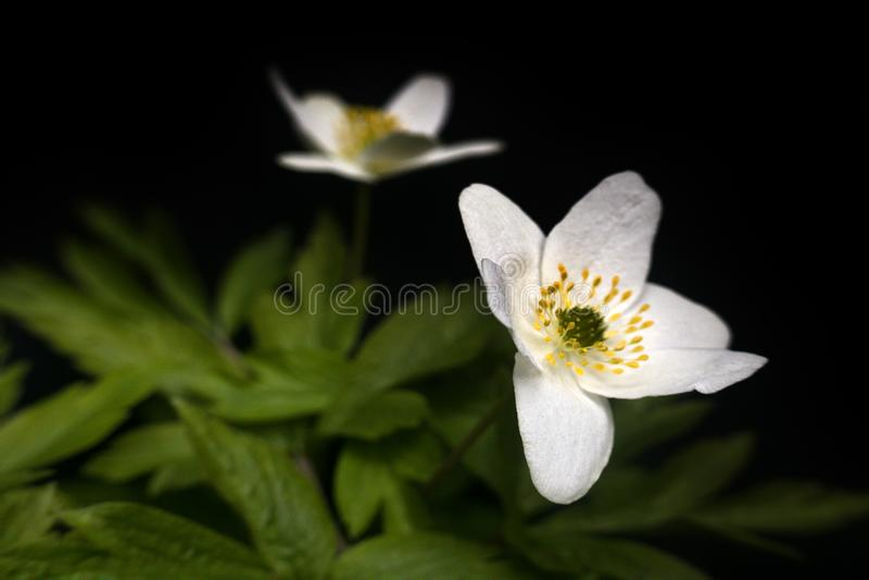 Anemone Asherah Wood-Anemone auf schwarzem Hintergrund lizenzfreies stockfoto