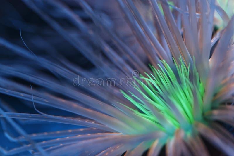 Anemone bioluminescente fotografia stock libera da diritti