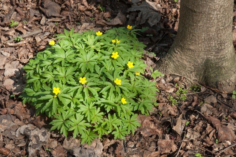 Anemone blüht im Frühjahr stockbild
